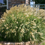 decorative grasses for privacy