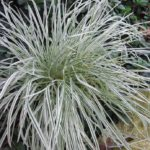 decorative grasses for shady areas