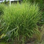 ornamental grasses acidic soil