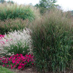 ornamental grasses and flowers