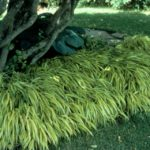 ornamental grasses and shade