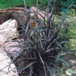ornamental grasses black