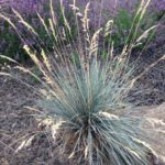 ornamental grasses blue