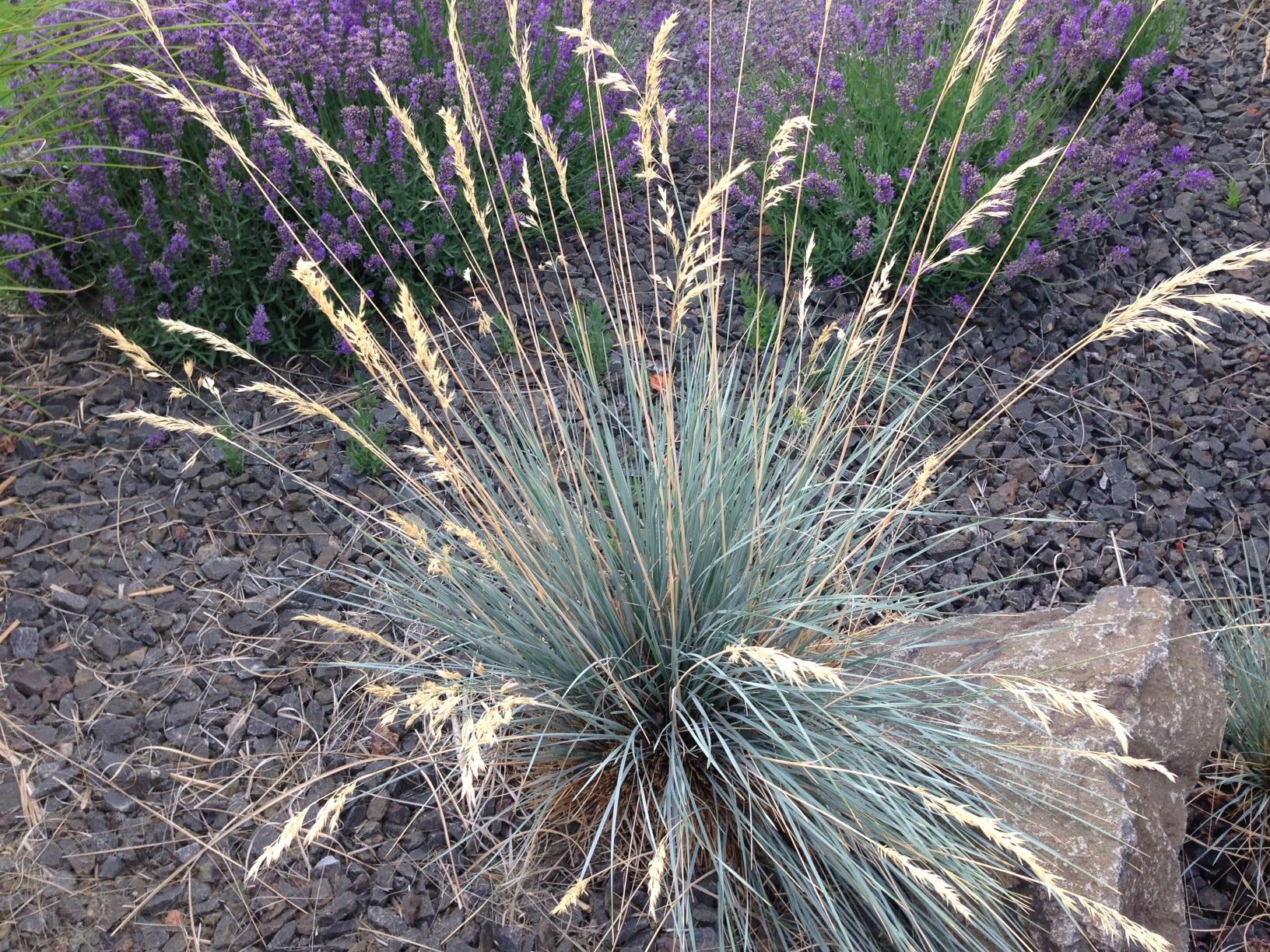 ornamental grasses blue