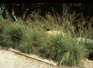 ornamental grasses dry shade