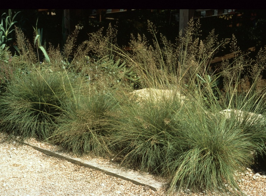 ornamental grasses dry shade